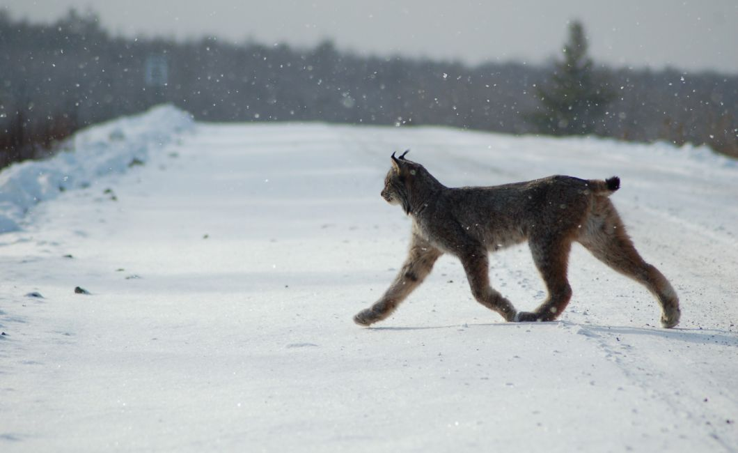 lynx walking winter
